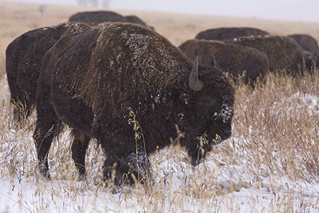 Bison in snow, Grand Teton National Park