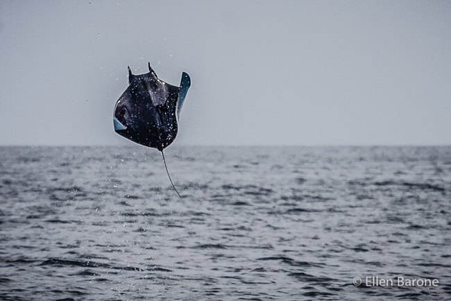 Mobula flying ray breaching, Sea of Cortés.