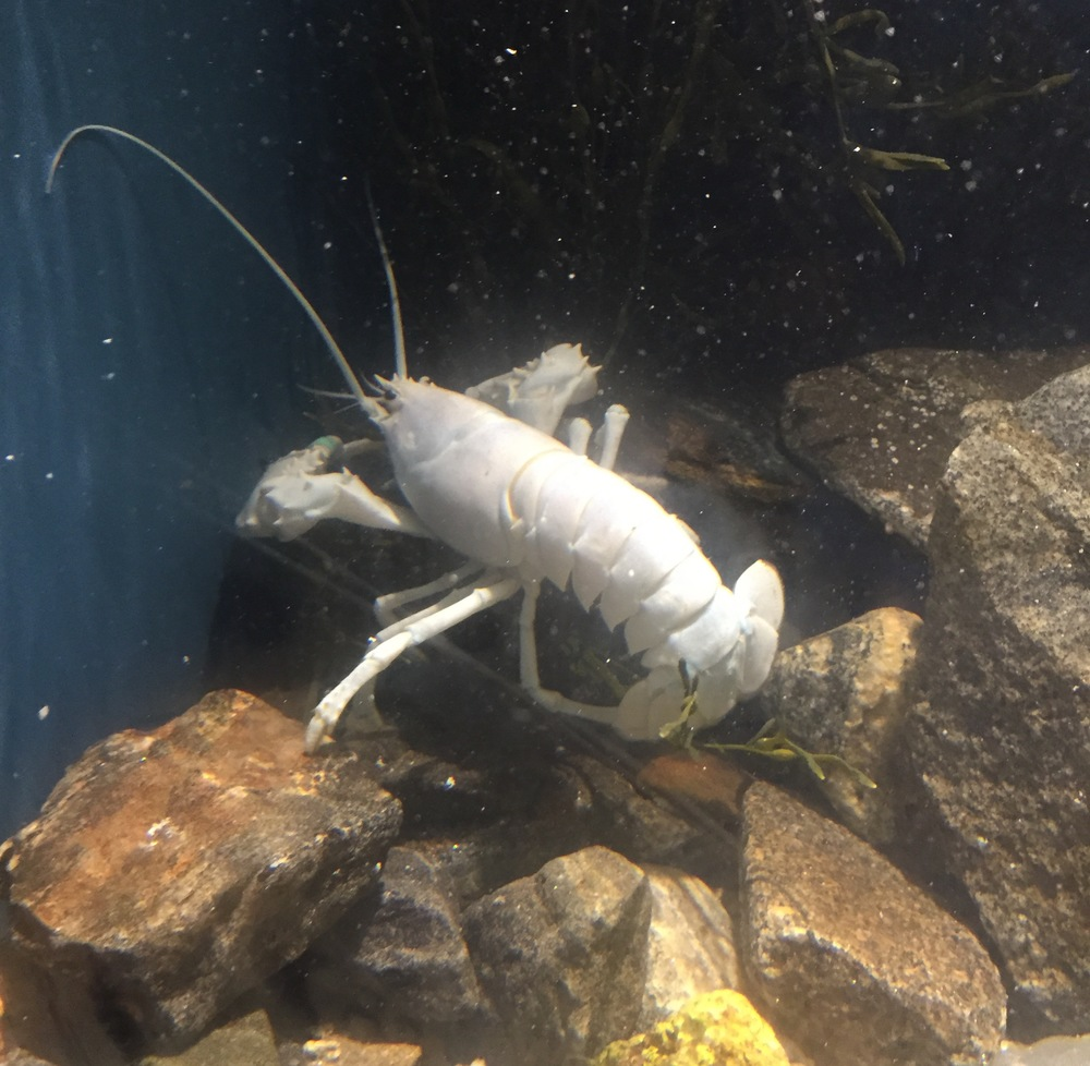 A rare albino lobster