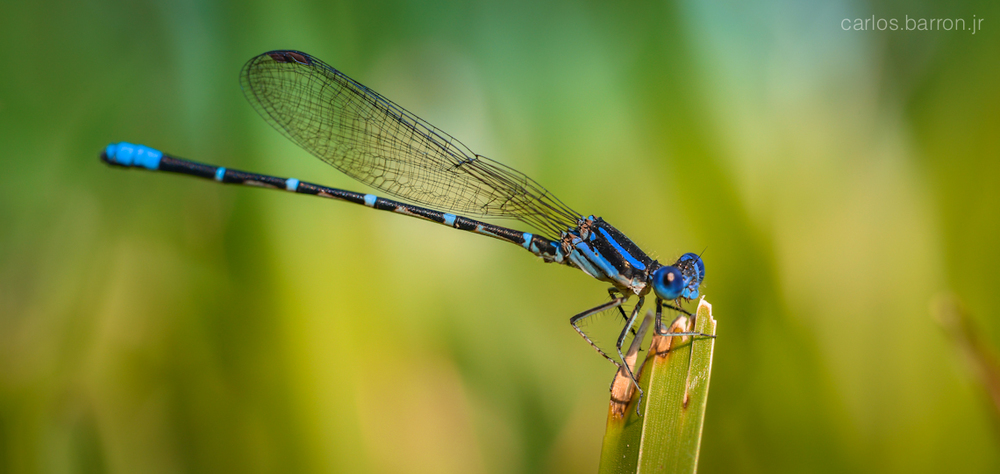 bluet-damselfly-home-cbarronjr