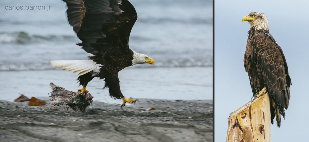 Bald Eagles at Anchor Point | © Carlos Barron Jr