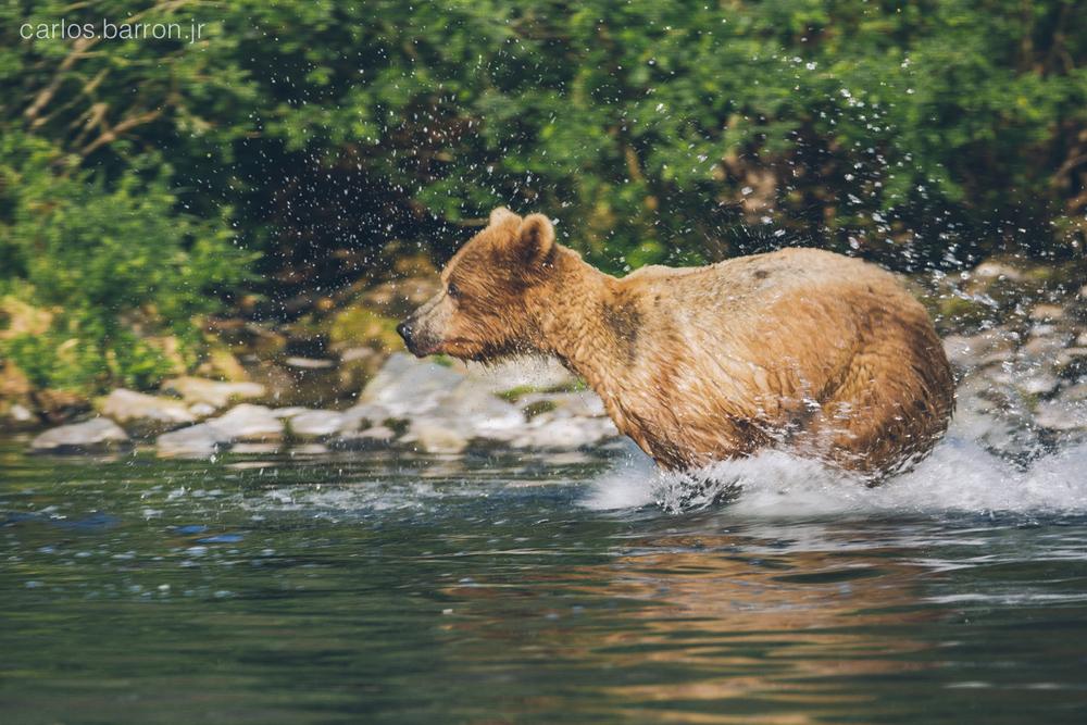 Wolverine Creek Brown Bears | © Carlos Barron Jr