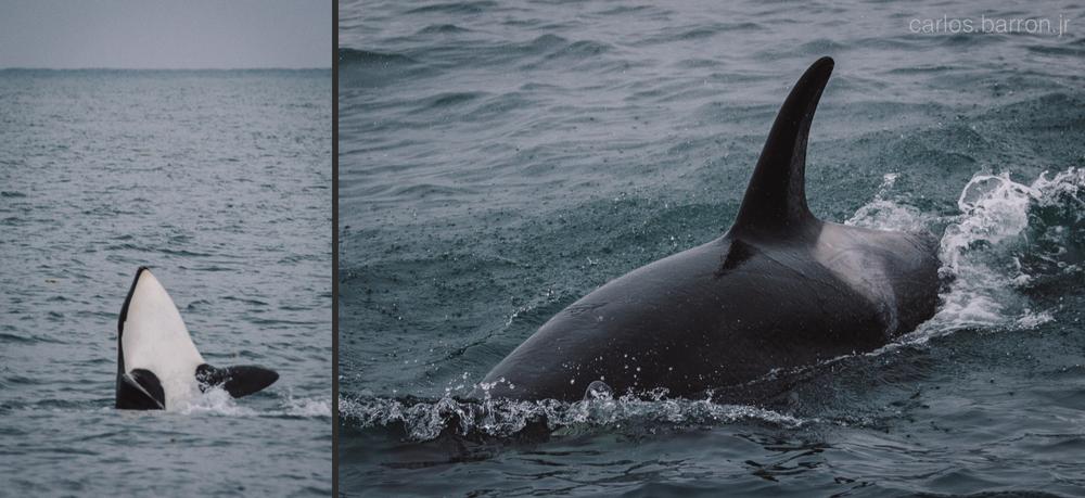 Kenai Fjords Orcas