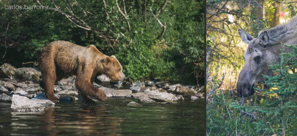 Wolverine Creek Brown Bears - Moose | © Carlos Barron Jr