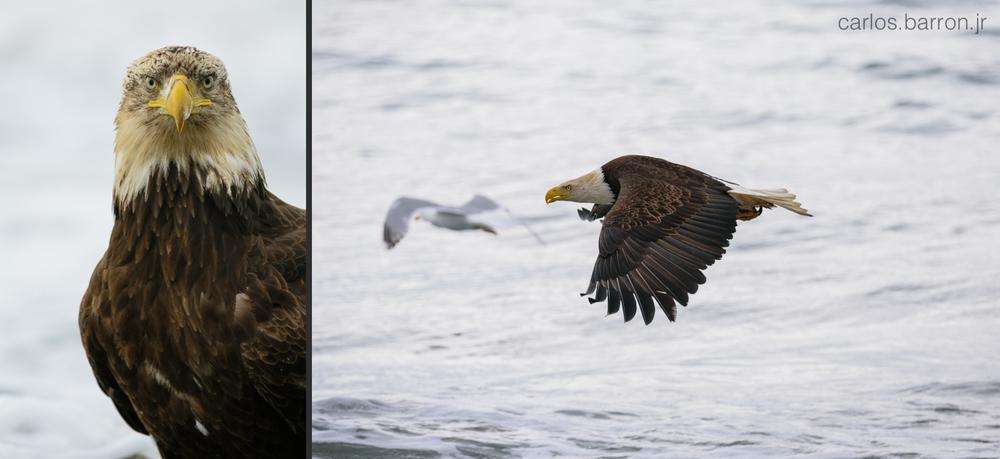 Anchor Point Eagles | © Carlos Barron Jr