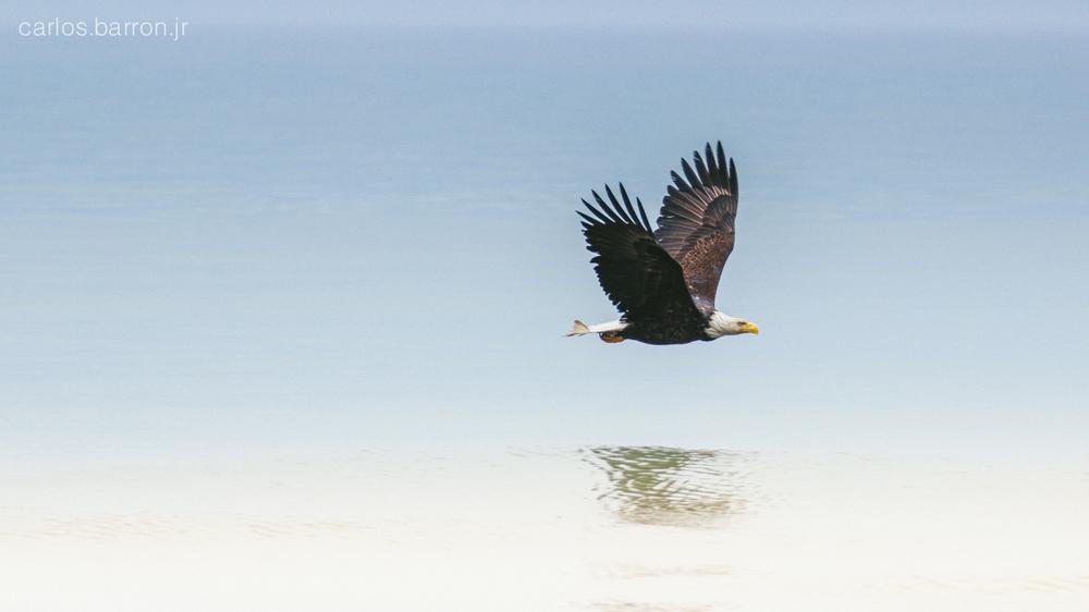 A bald eagle soars the coast line near Anchor Point, Alaska.