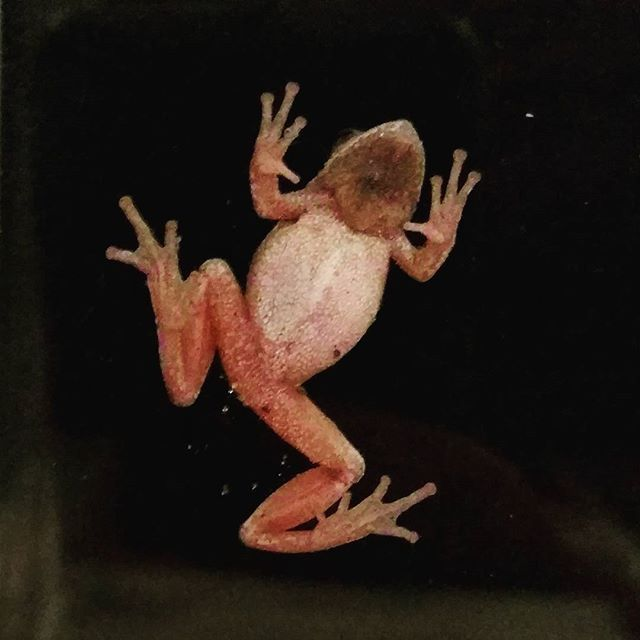 A spring peeper came to visit. 🐸