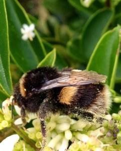 bumble-bee-241x300.jpg