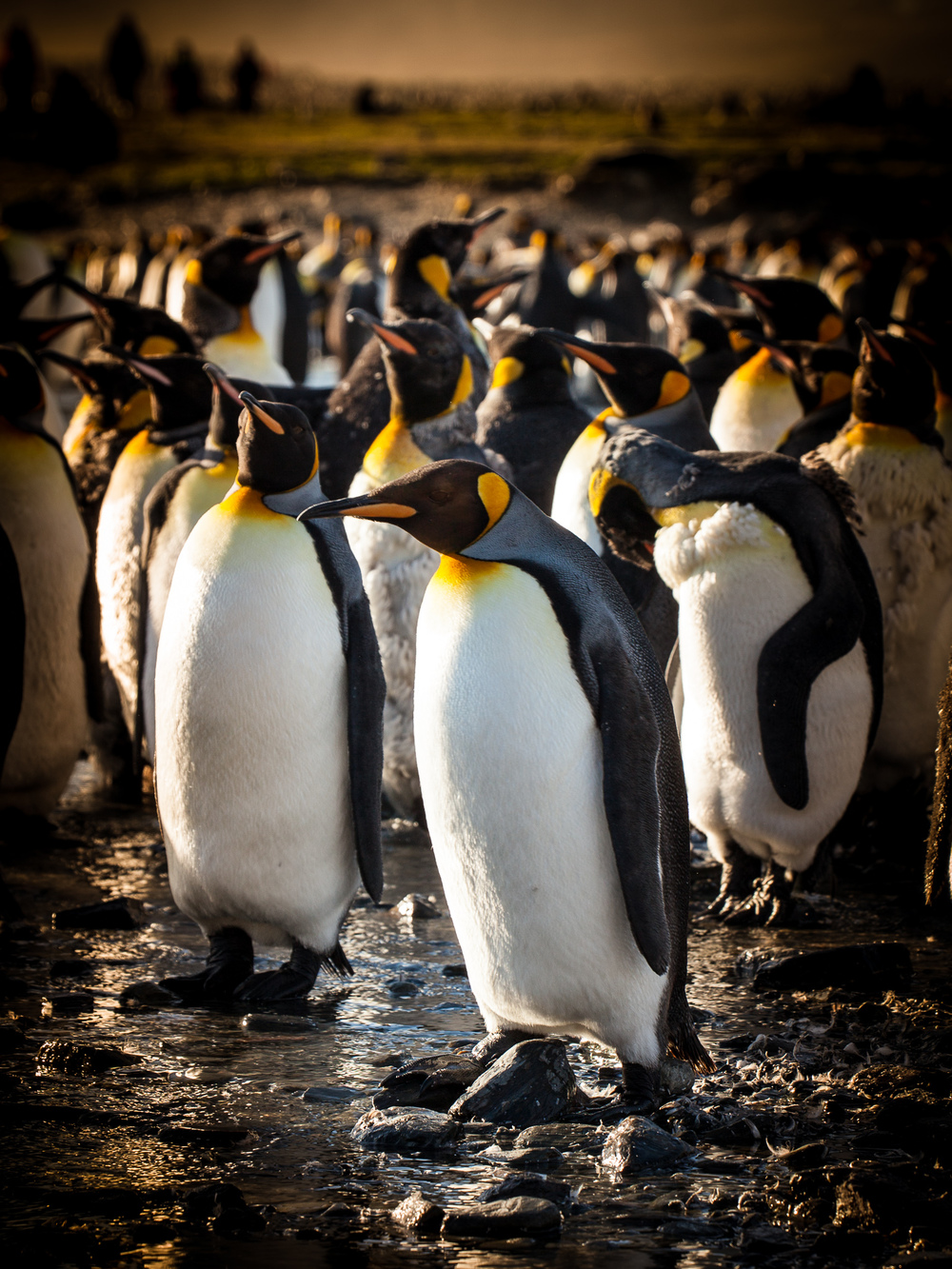 King Penguins - St. Andrews - Kelly Redhead