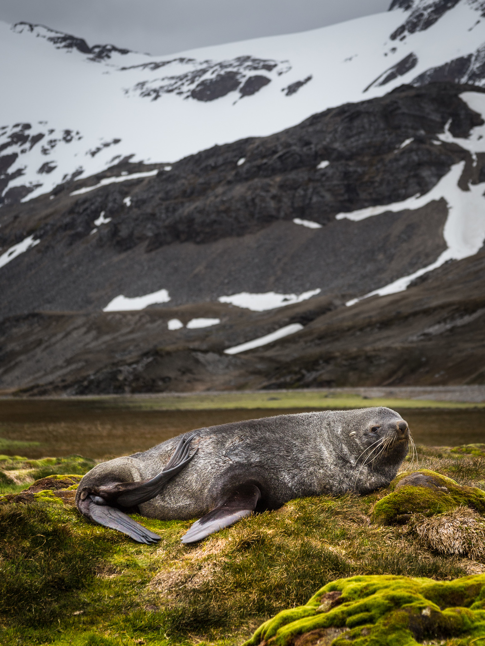 Fur Seal - Shackleton Walk - Kelly Redhead