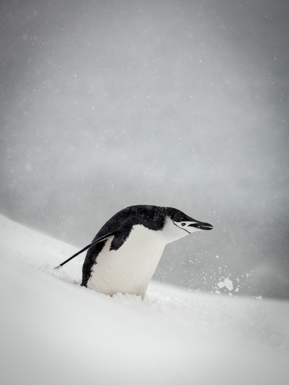 Chinstrap Penguin - Half Moon - Kelly Redhead