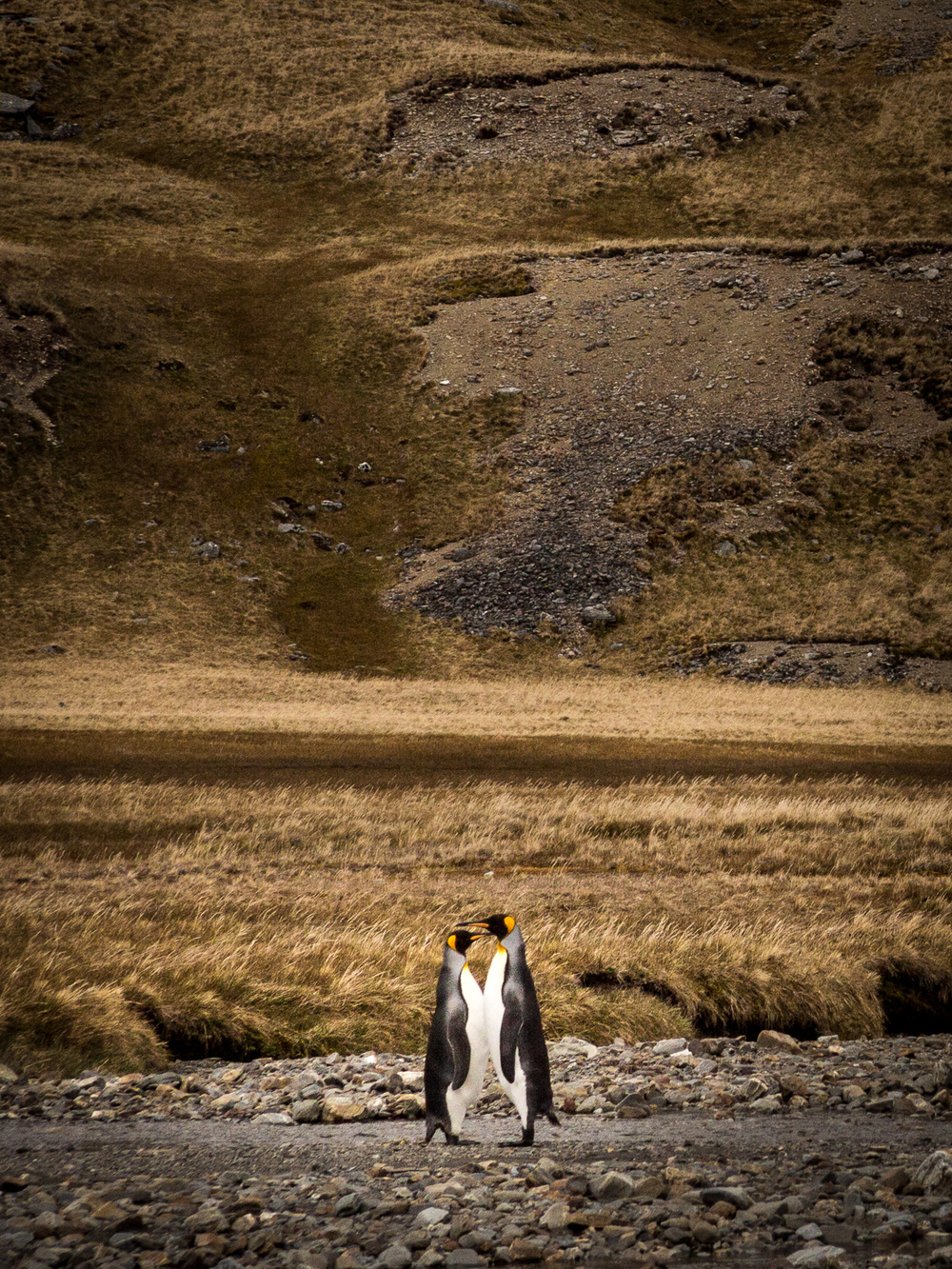 King Penguins - Shackleton Walk - Kelly Redhead
