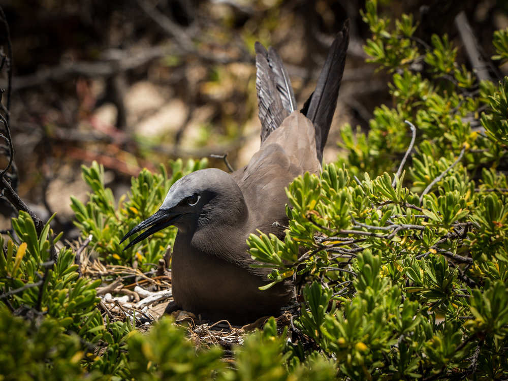 Kouare Island Nesting Bird