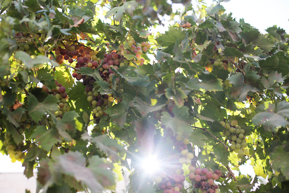 Grapes, embraced with sunlight; grow behind the Haviv house. Oh what a place!