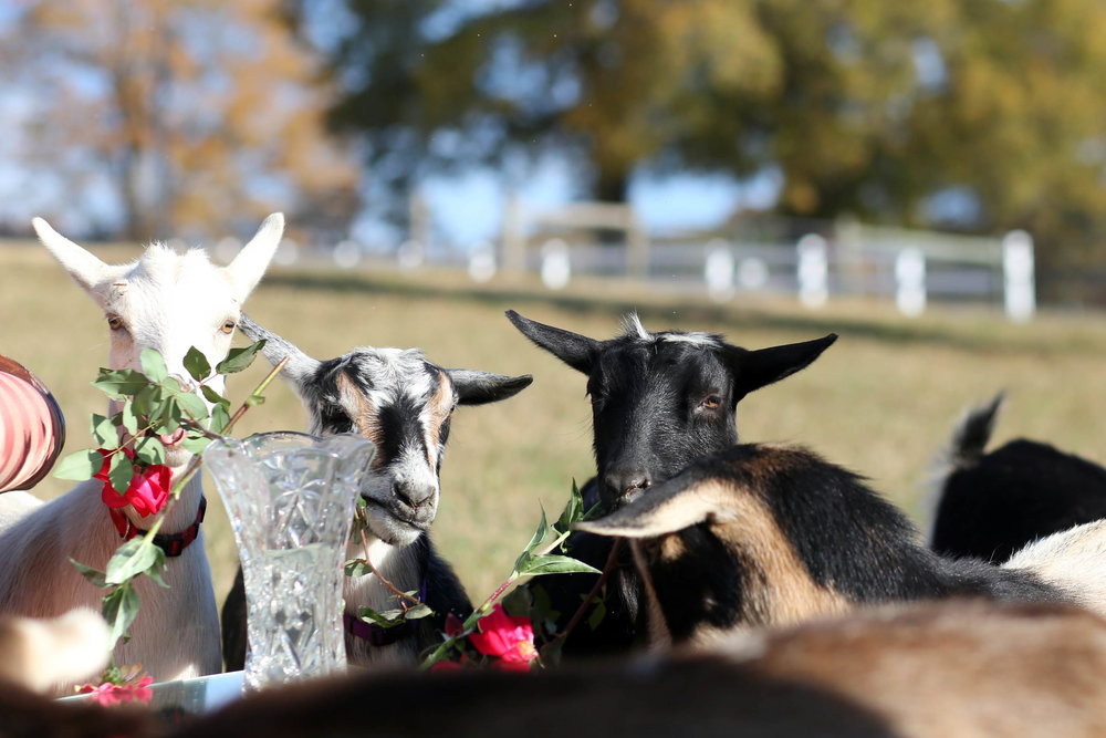note to self: DO NOT bring roses on set when there are goats present.