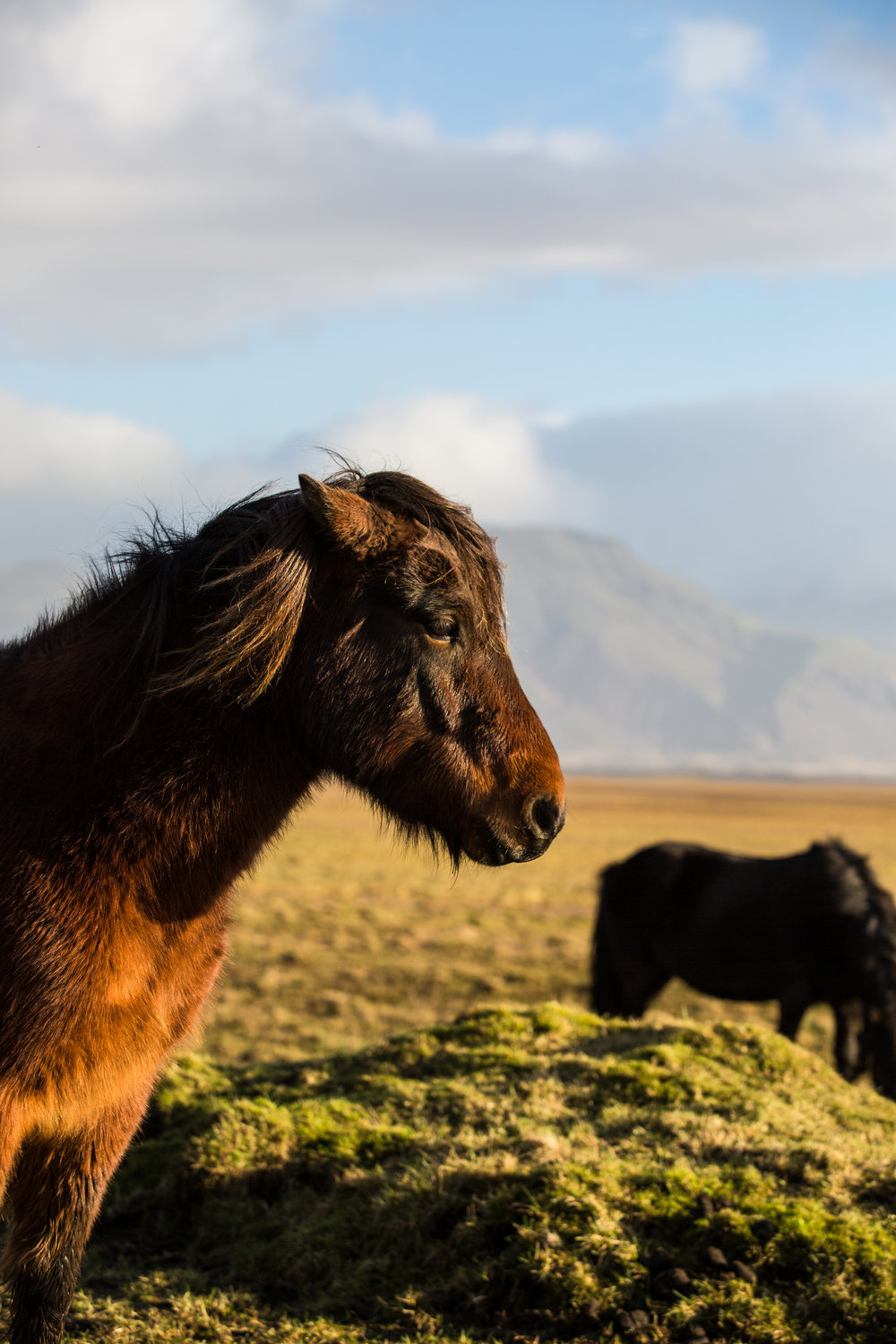 The history of the Icelandic horse goes back to the 9th century when Norse clans brought them over from the east. While small, they are known for their strength, resilience to cold and disease, with much praise also going to the two specialized gaits they have adapted over time. Riding these beasts is a different horseback experience than many back home may be used to.