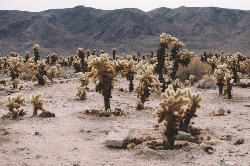 Teddy Bear Cholla Cacti (that's their real name!): Don't try to cuddle with them!