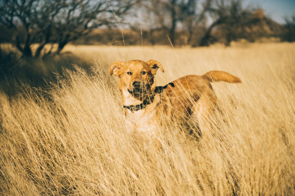 Java looked just like a dingo in this tall dry grass!