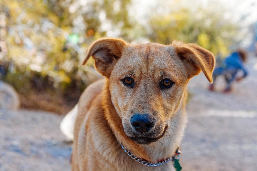 What a beautiful, awesome dog you were, Java (in Joshua Tree National Park, CA).