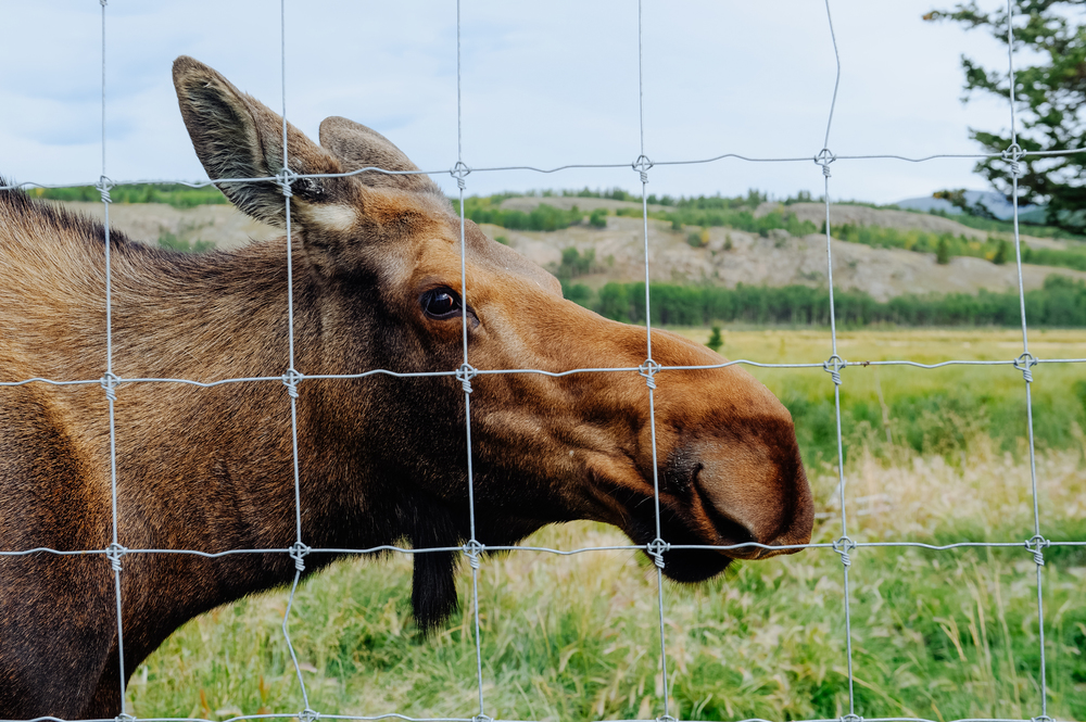 Meet JB, a female moose who was rescued when she was only a few days old.  Read her story here .