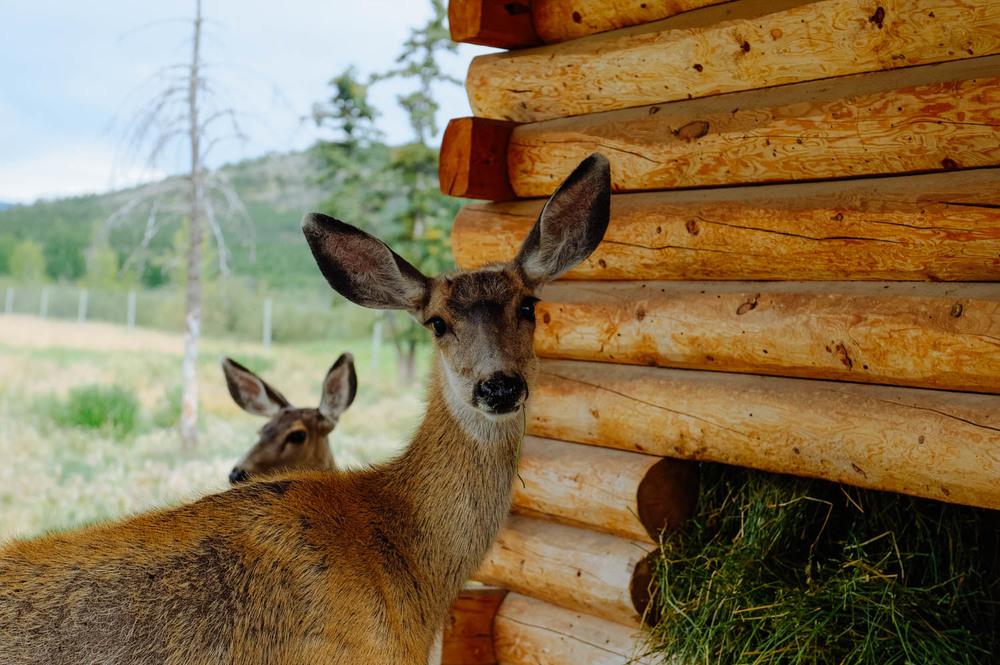 Sweet mule deer.