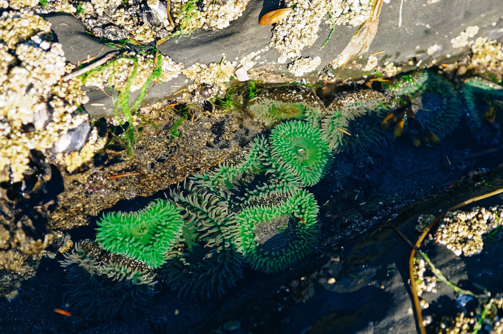 Green anemones in the tide pools