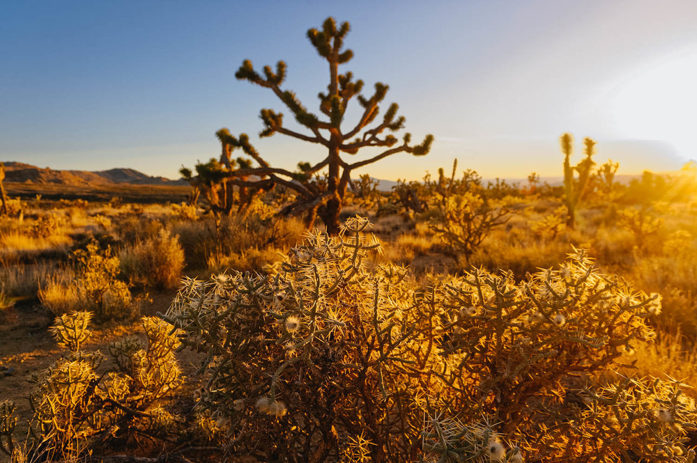 Pencil cholla in front of a big Joshua Tree.