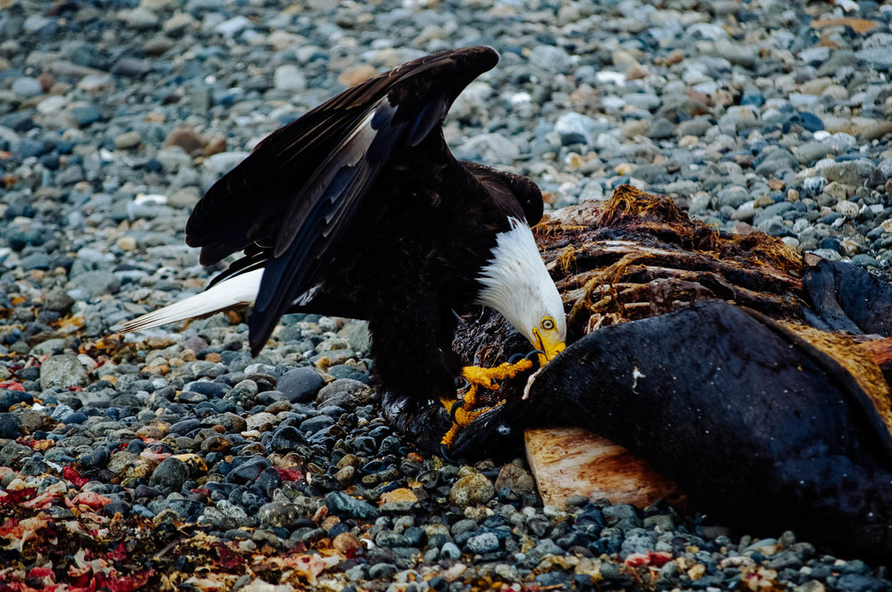 A bald eagle feasting on a dead seal during our morning walk…!