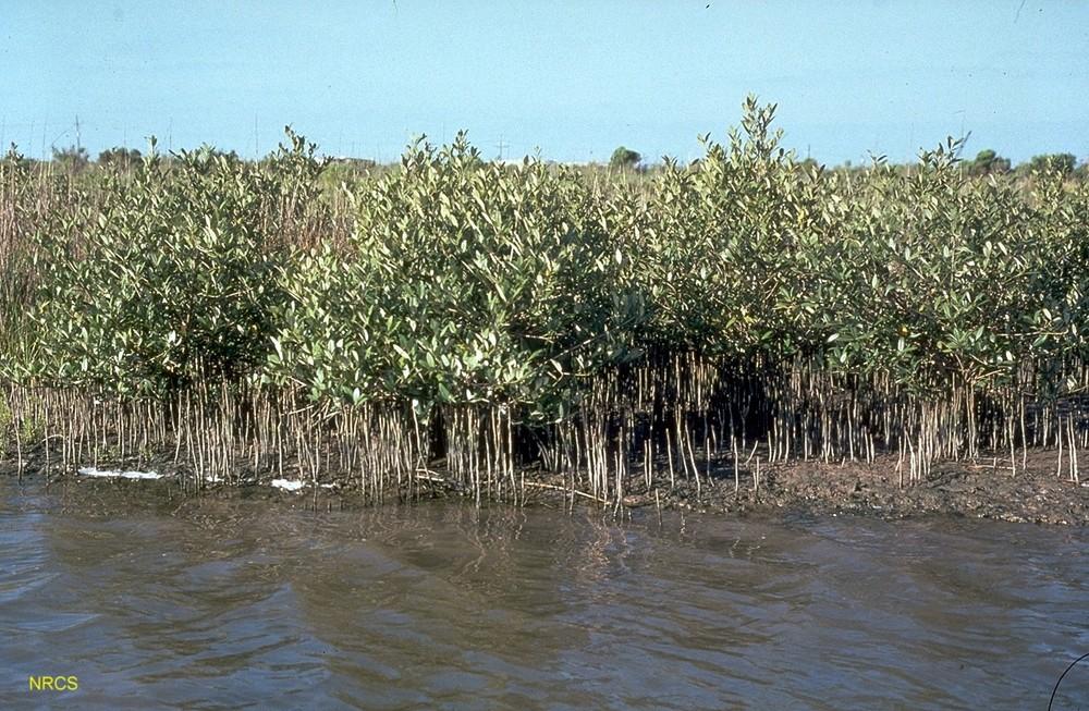 GIDEST_mangrove 3.jpg