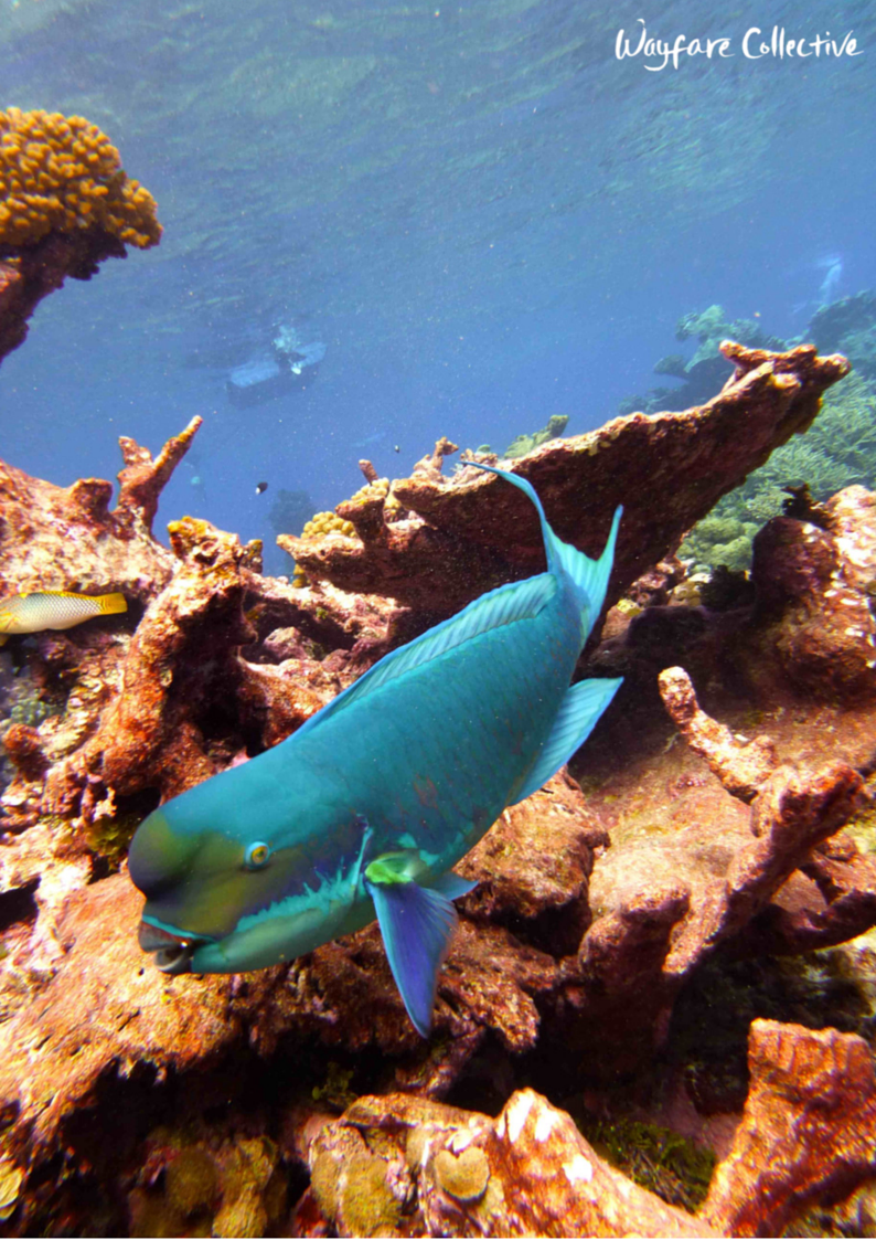 "Mr. Parrotfish says ""Hi!"""