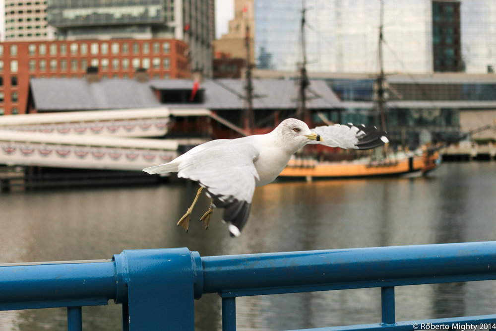 RobertoMighty_Gull_IMG_RobertoMighty_Gull_copyright2014_www.robertomighty.com_5018 copy.jpg