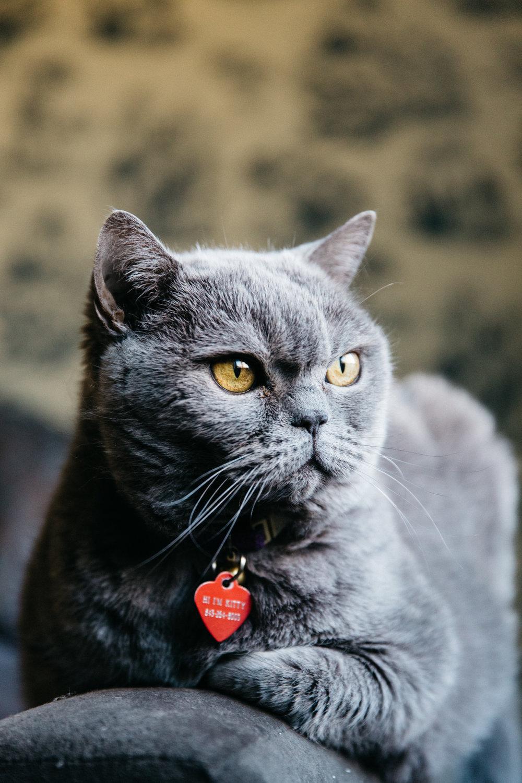 Regal Kitty Portrait
