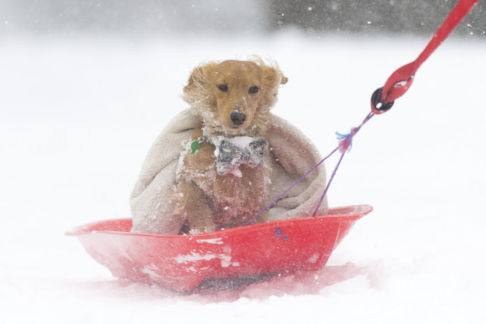 EDINBURGH, SCOTLAND - MARCH 1: Walton the dog gets a lift on a sledge on March 1, 2018 in the Abbeyhill area of Edinburgh, United Kingdom. People have been warned not to make unnecessary journeys as the Met office issues a red weather be aware warning for parts of Wales and South West England following the one currently in place in Scotland. (Photo by Matthew Horwood/Getty Images)