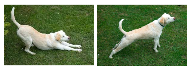 Downward dog (left) & upward dog (right)