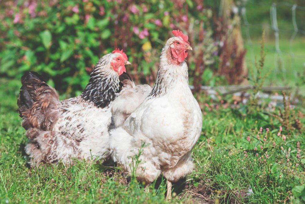 Raising Chickens — Equip International
