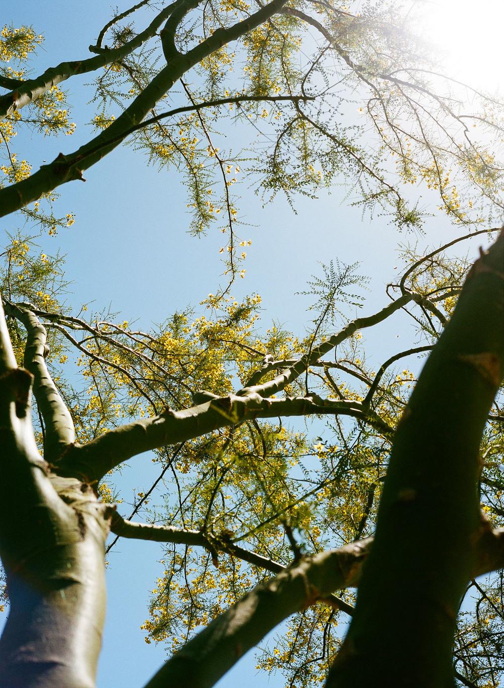 Anza-Borrego-Tree-01.jpg