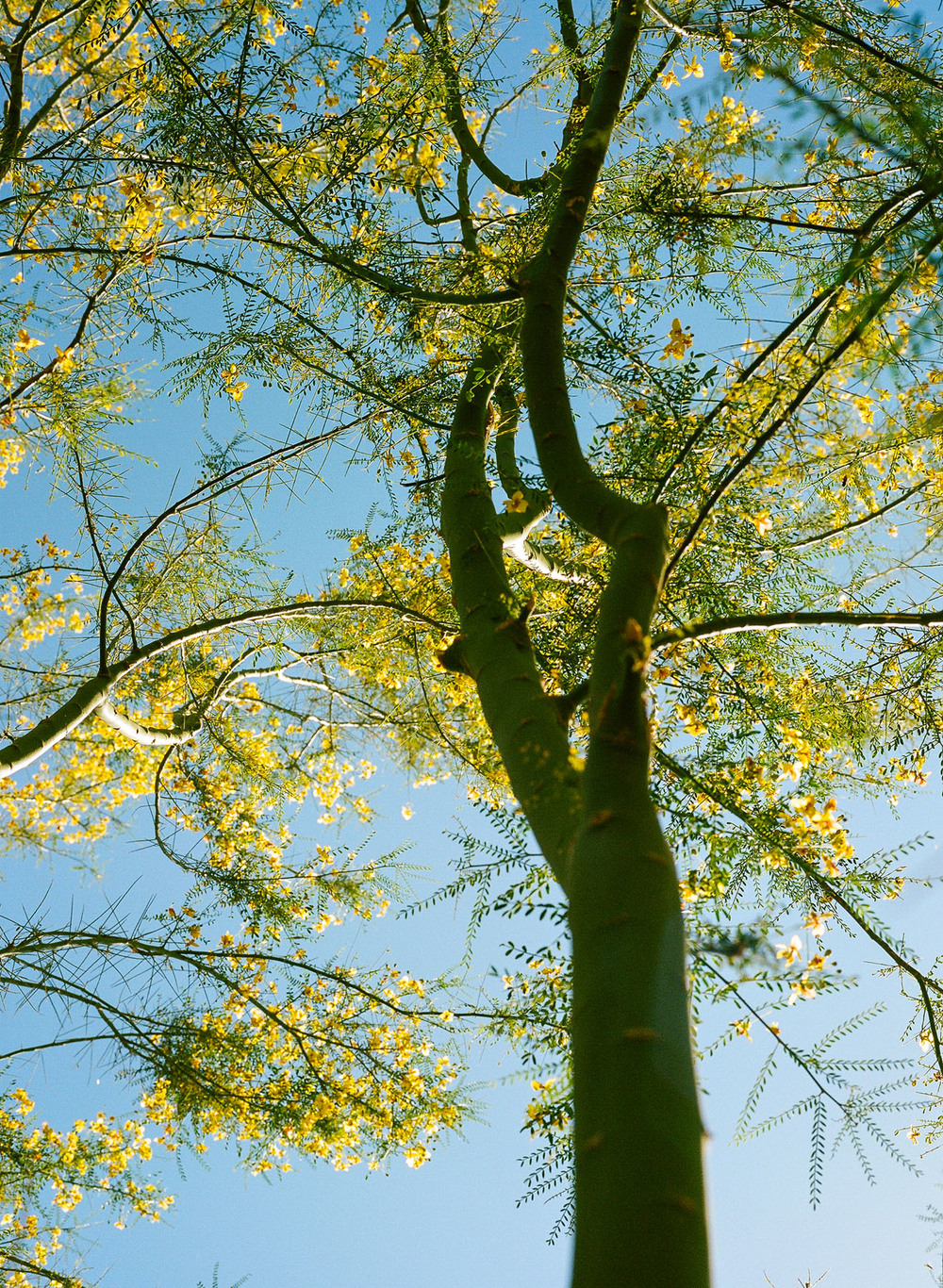 Anza-Borrego-Tree-03.jpg