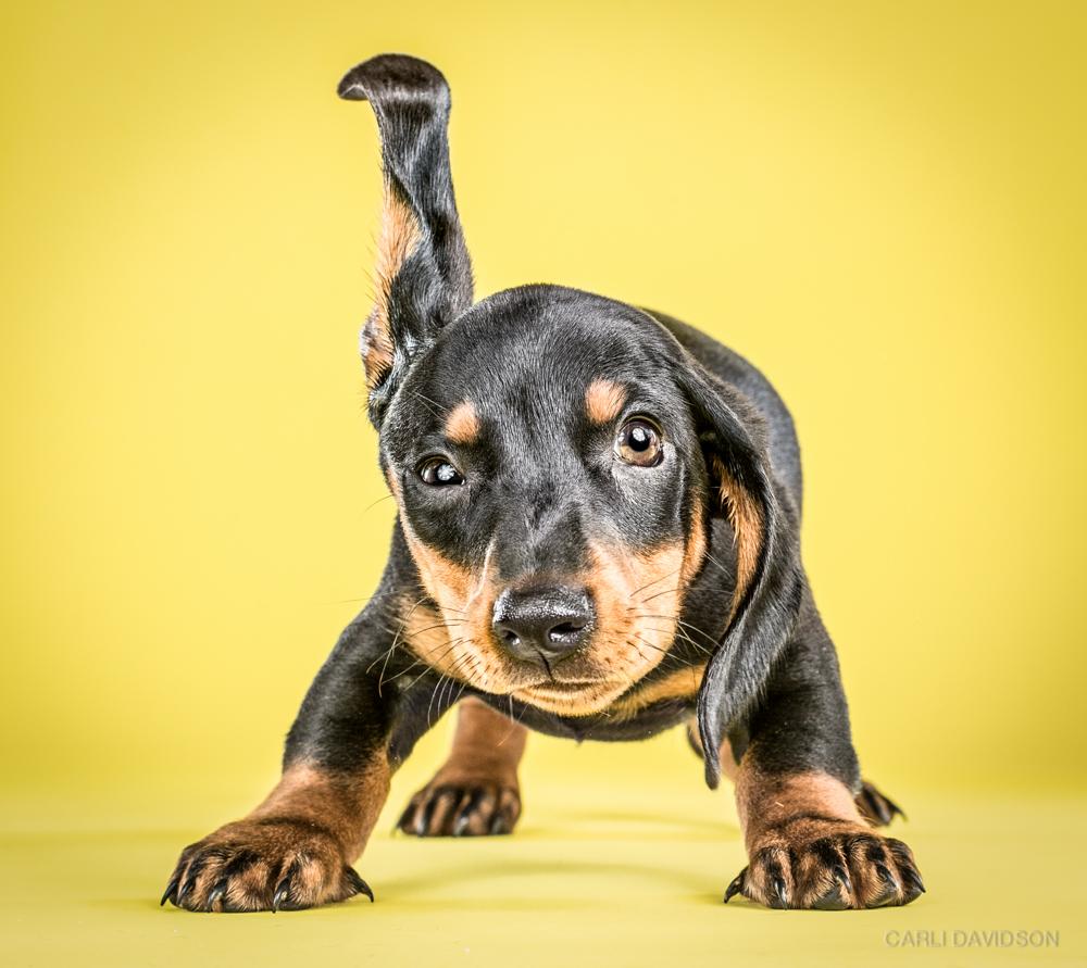 Shake Puppies-4Dachshund.jpg
