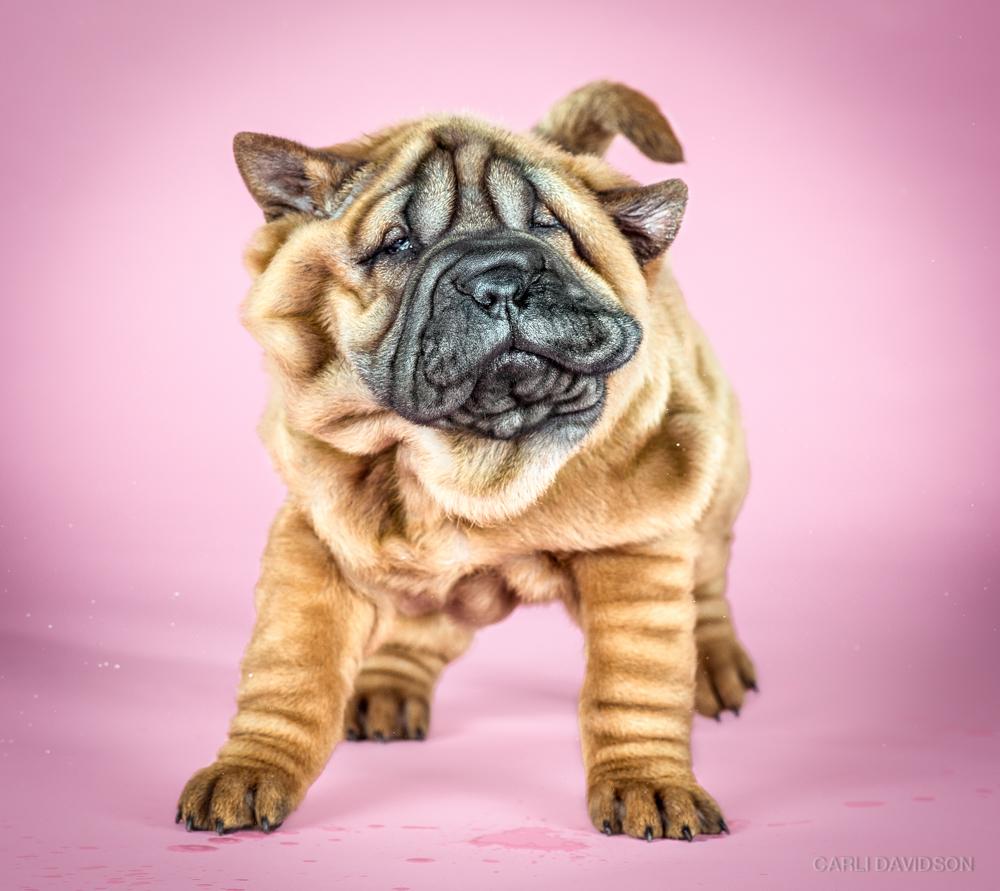 Shake Puppies-6_Shar Pei.jpg
