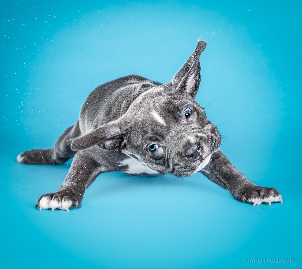 Shake Puppies-7_Pitbull.jpg
