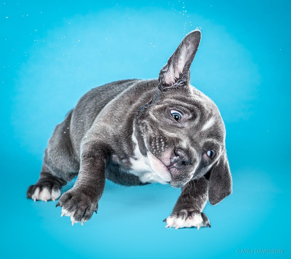 Shake Puppies-8_Pitbull.jpg