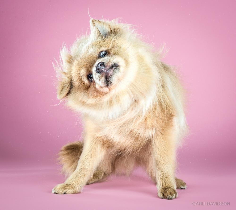 Shake Puppies-11_Pomeranian.jpg