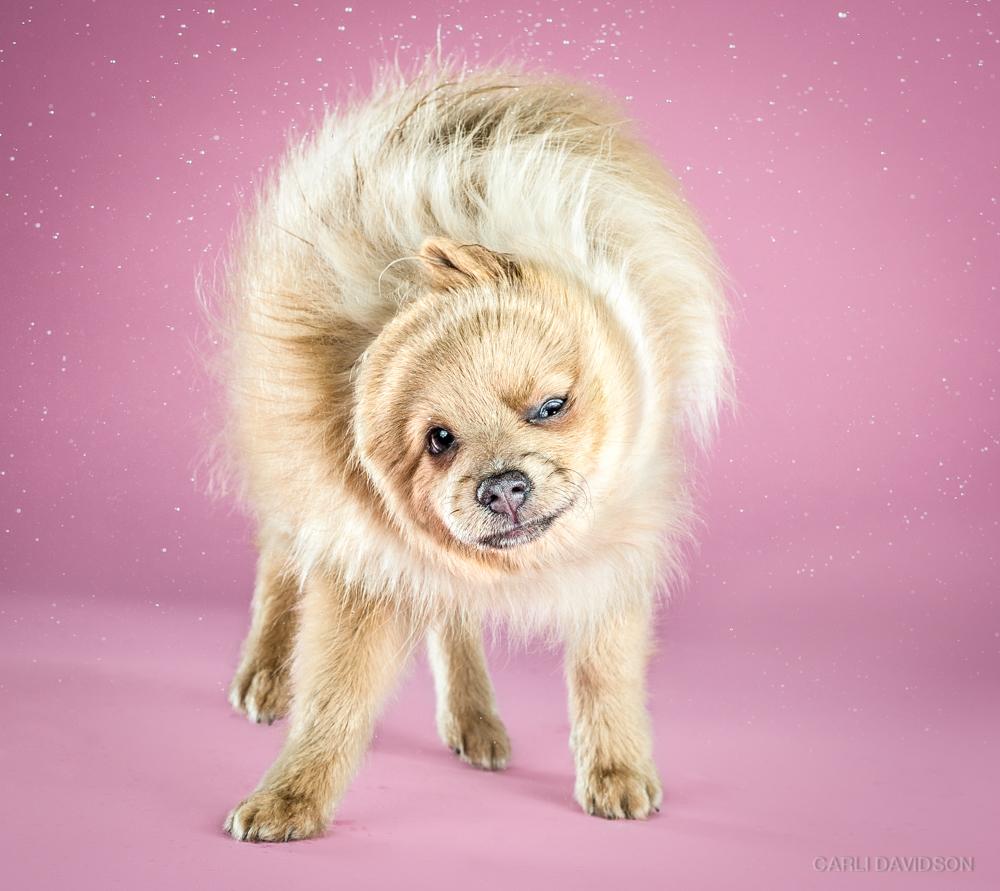 Shake Puppies-12_Pomeranian.jpg