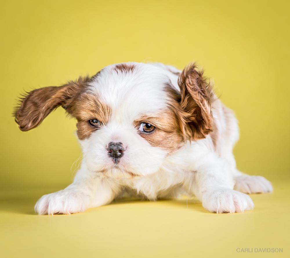 Shake Puppies-14_Cav King Charles Spaniel.jpg