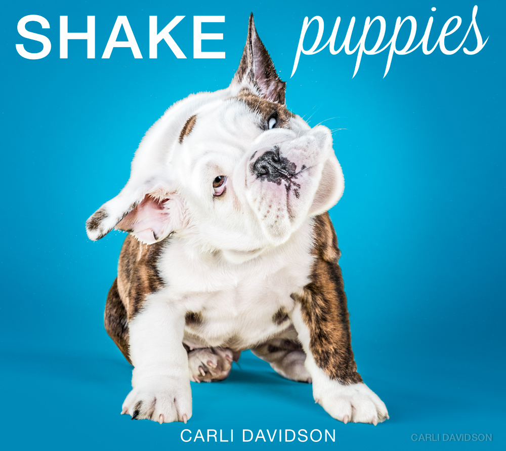 Shake Puppies-15_English Bulldog.jpg