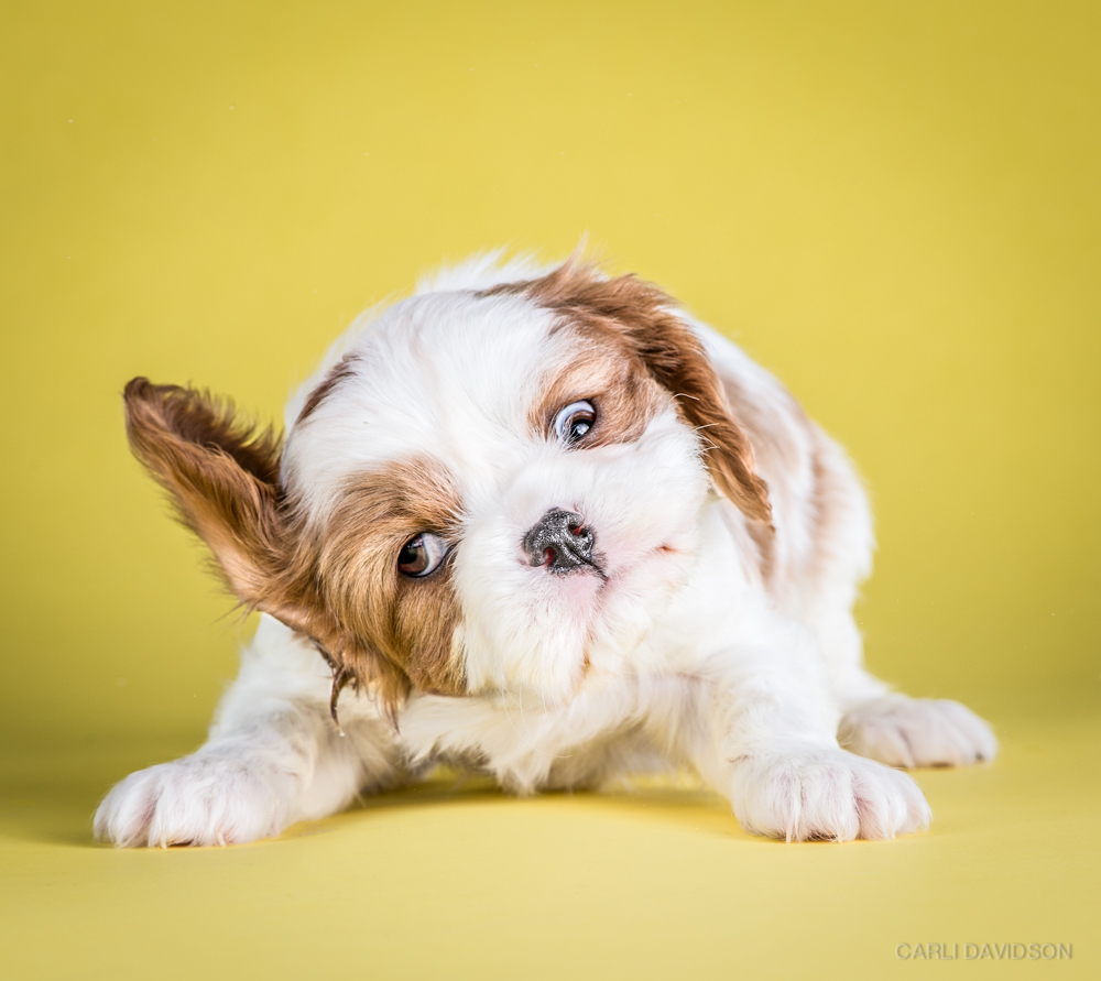 Shake Puppies-13_Cav King Charles Spaniel.jpg