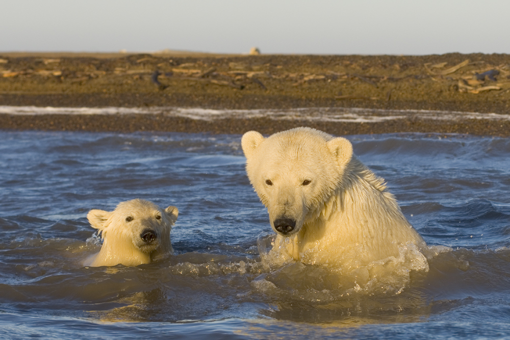 Polar bear photography tour on the Arctic Alaskan coast.