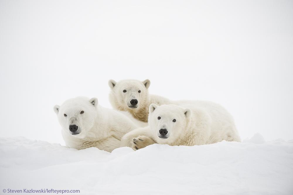 sow cubs babies baby family resting nanook nanuk white bear