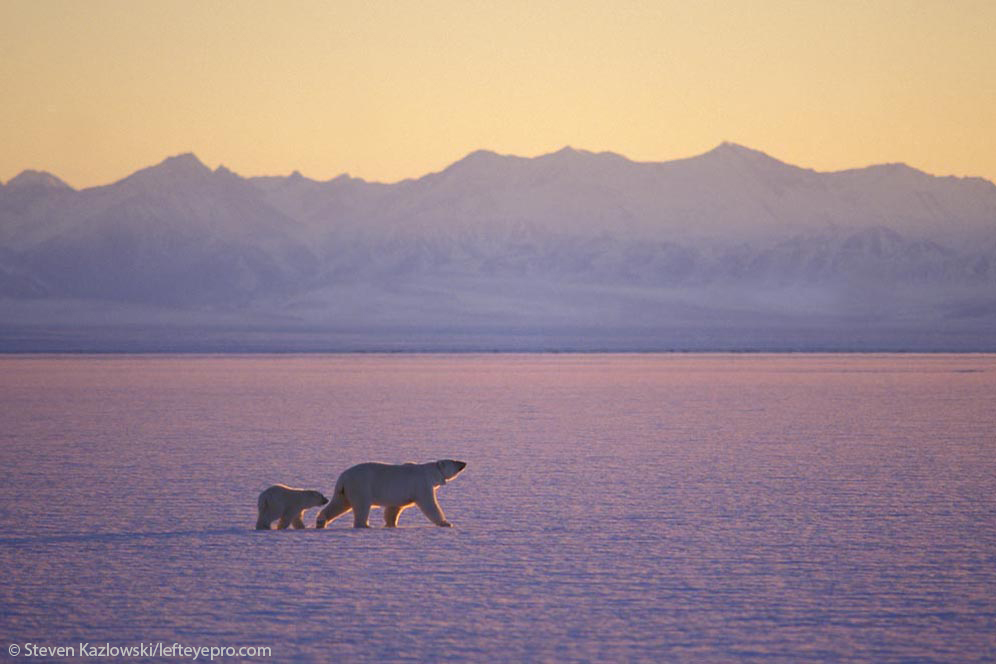 brooks range north slope 1002 ANWR Arctic National Wildlife Refuge sow cub walking sunset silhouette mountains