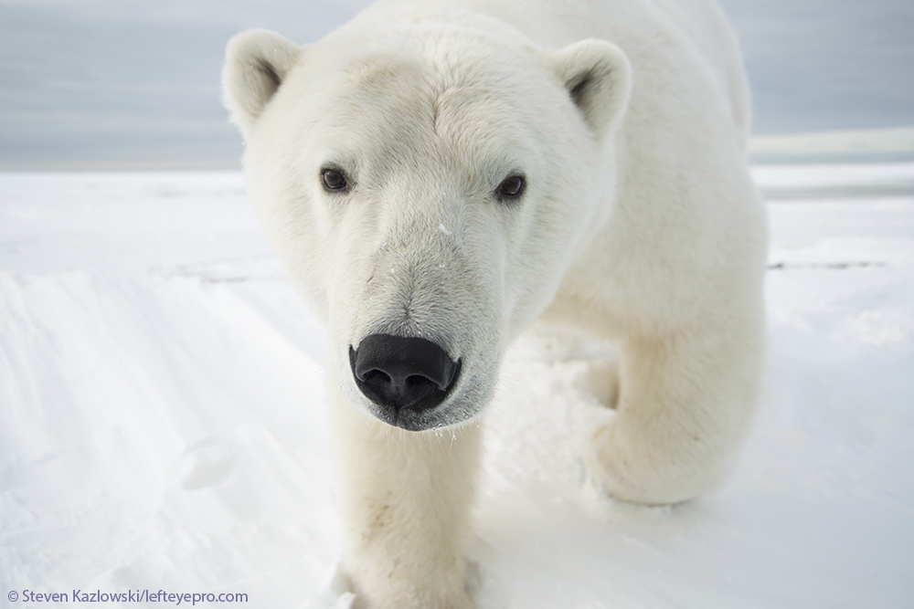 adult approaching curious profile ice bear